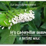It's Caterpillar Season…