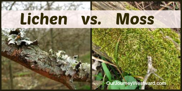 Lichen vs. Moss: What's the Difference?  | Our Journey Westward