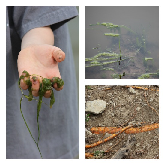 Pond Plant Nature Study | Our Journey Westward