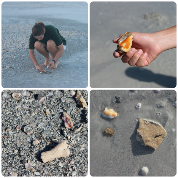 Shelling at Indian Rocks Beach