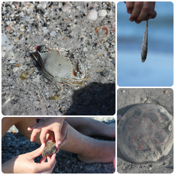 Finding animals at Indian Rock Beach