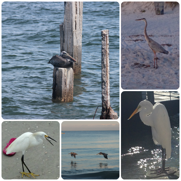 Birds at Indian Rocks Beach