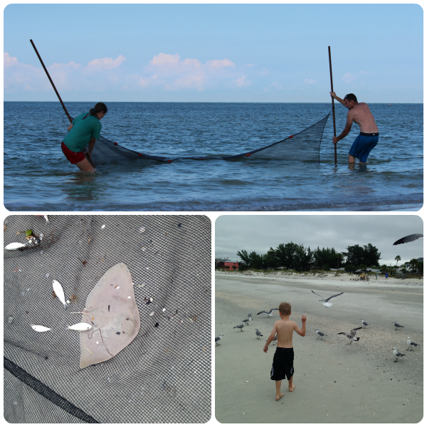 Seining at Indian Rocks Beach