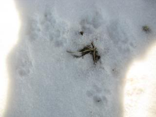 Animal Signs in the Snow